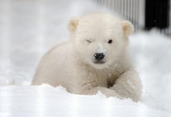 kali-polar-bear