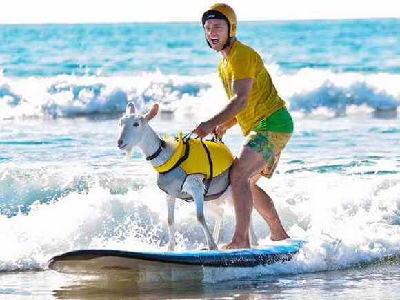 Animals-Surfing-Championship-13 goat