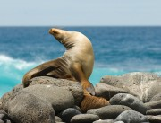 galapagos_seal_sunbathing-on-rocks_0