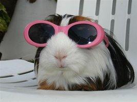 My_guinea_pig_sunbathing_by_Solofanchan
