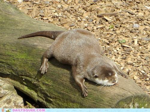 otter sunbathing