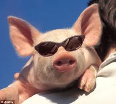 Pig in Sunglasses