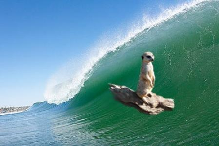 surfing meerkat