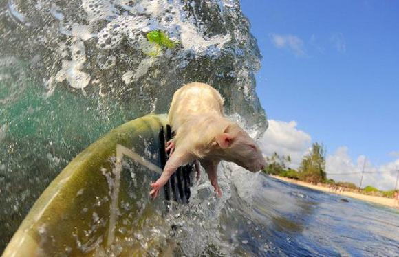 surfing-rat_1208771i