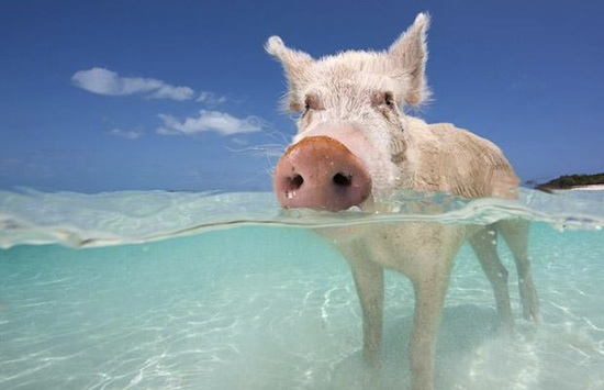 swimming-pig-bahamas.jpg.644x0_q100_crop-smart